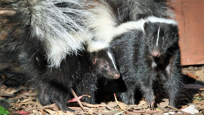 What Are Some Ways You Can Remove Skunk Odor?