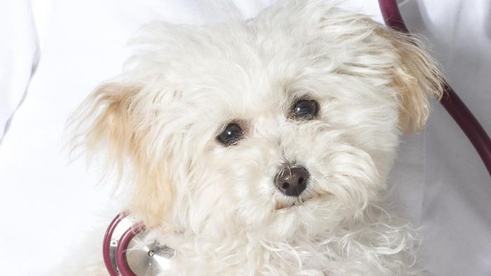 How do you know if a Teacup Poodle rescue is safe and responsible?