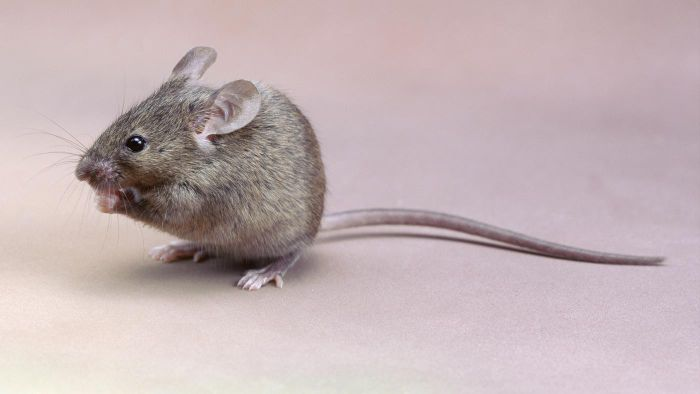 How Do You Naturally Get Rid of House Mice?