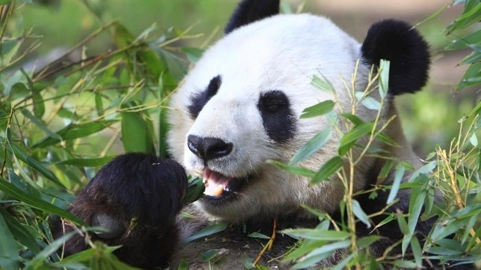 Does the San Diego Zoo Have a Panda Cam?