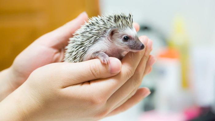 Do Pet Stores Commonly Sell Hedgehogs?