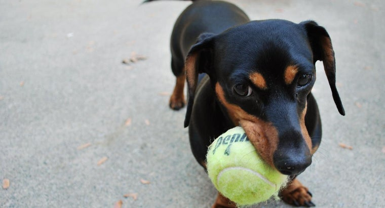 Where Can You Find a Dachshund Rescue?