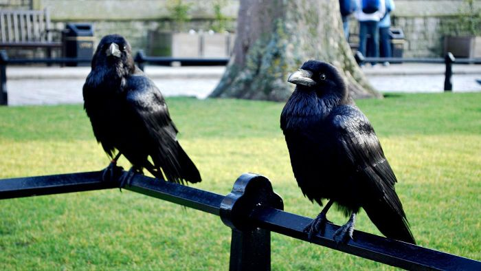 How Many Ravens Protect the Tower of London?