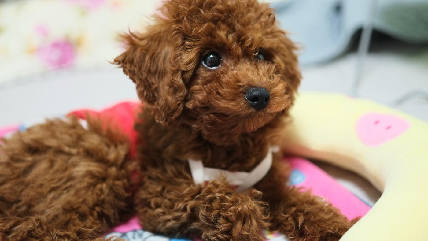 Where Can You Buy a Registered Toy Poodle Puppy?