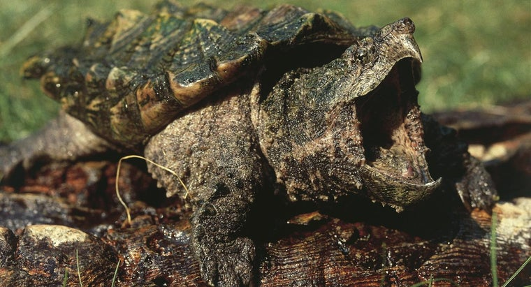What Are Some Facts About Alligator Snapping Turtles?