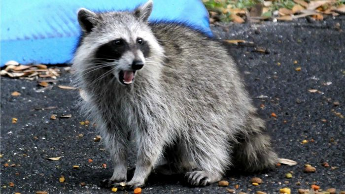 How Do You Trap and Relocate Raccoons?