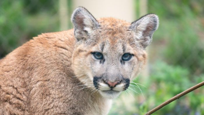 What Are Some Interesting Facts About Cougars?