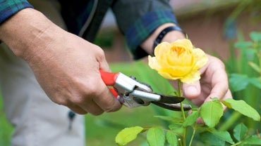 When Is the Best Time to Prune Rose Bushes?