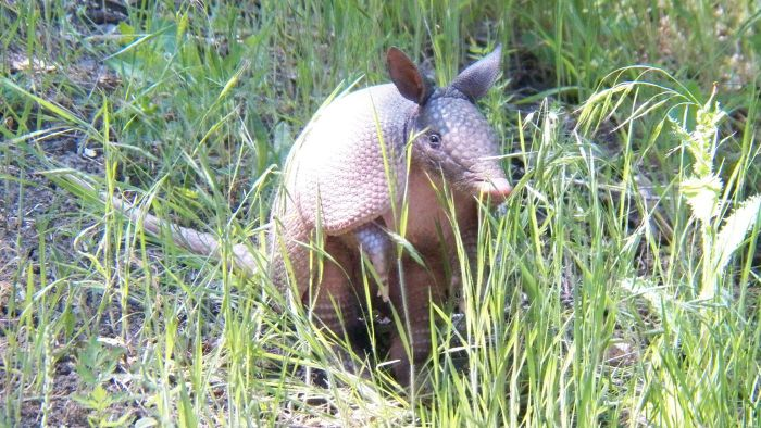 How Do You Get Rid of Armadillos?