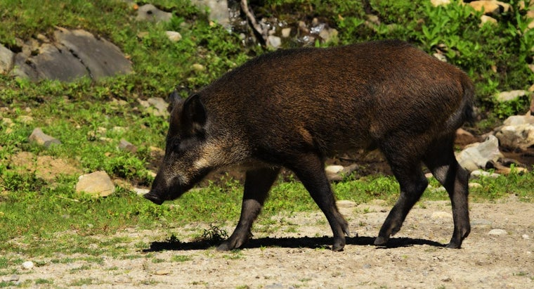 Where Can You Find a Place to Hunt Hogs in Arkansas?