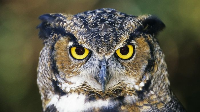 What Are Some Interesting Facts About the Great Horned Owl?