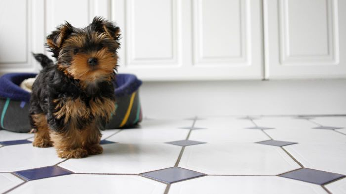 What Are Some Yorkie Rescue Groups?