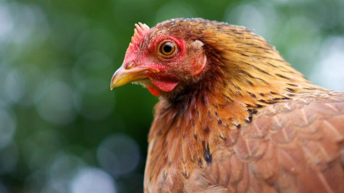 Where Can You Find Chickens for Sale?