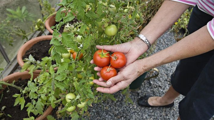 What Are Some Tips for Planting Tomatoes?