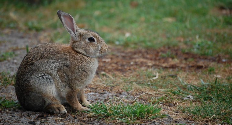 What Are Some Facts About Rabbits?