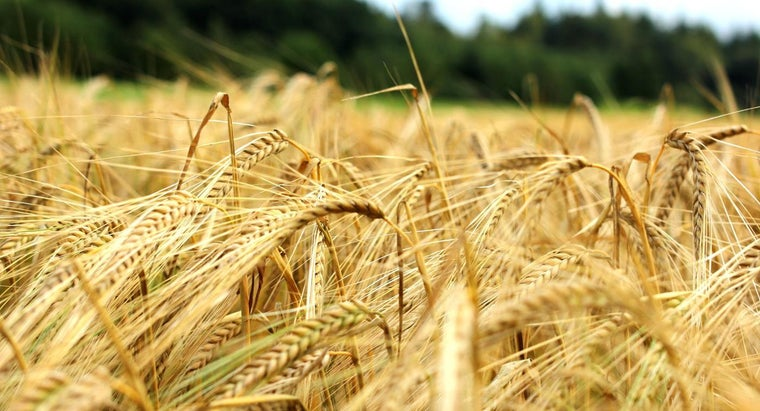 What Grains Have Gluten?