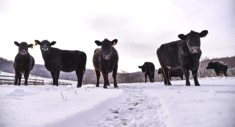 Where Can You Find Angus Cattle for Sale?