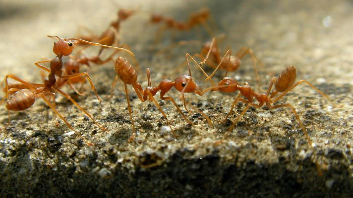 What is the most effective treatment for fire ant bites?
