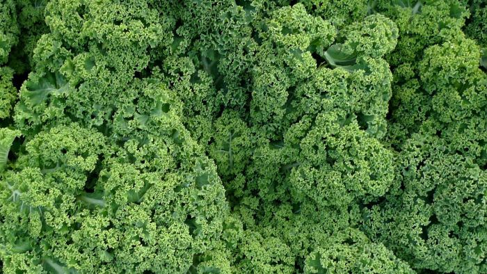 Is Kale Good for Making Fresh Juice?