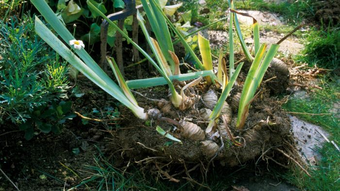 How Do You Plant Iris Bulbs?