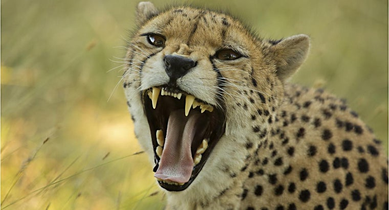 Where Is a Place to Find Cheetah Information?