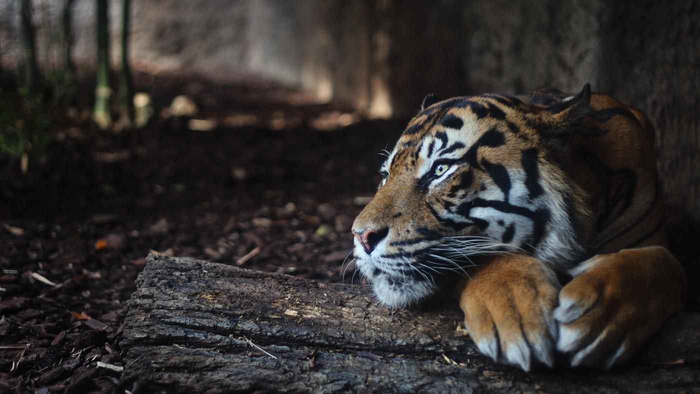 "extinction of tiger essay in hindi Tiger essay for class 1, 2, 3  however because of an indian campaign ""project tiger"",  in order to save tigers from the extreme threat of extinction."