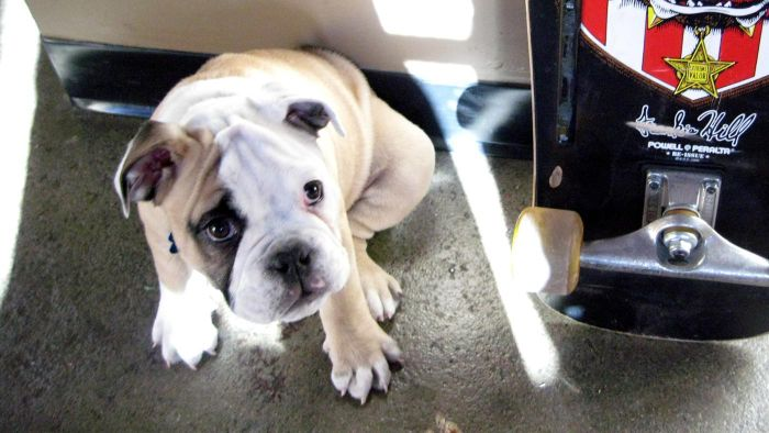 What Are Some Good English Bulldog Puppy Names?