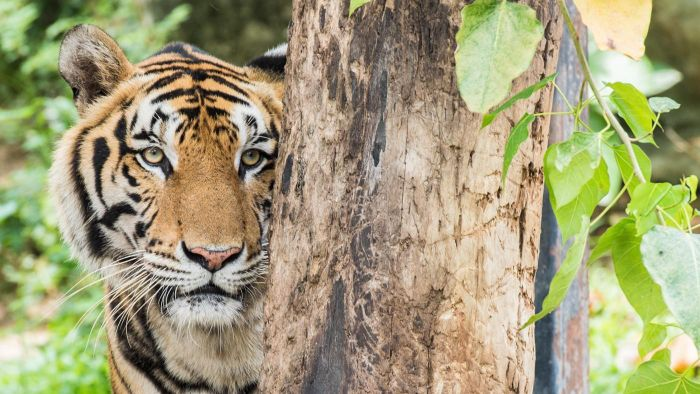 What Are Some Facts About Bengal Tigers?