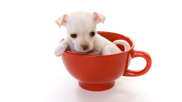 Can You Procure Teacup Puppies for Free?