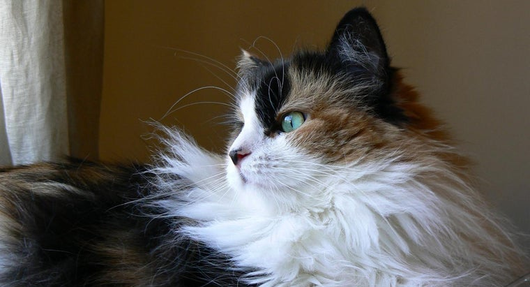 Where Can You Find Big Maine Coon Cats for Sale?