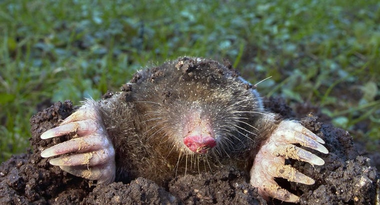 What Are Some Home Remedies for Moles in the Yard?