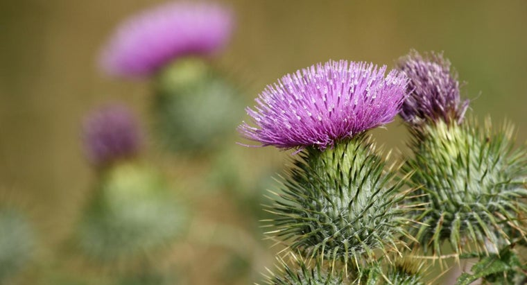 What Are the Dangers of Milk Thistle?