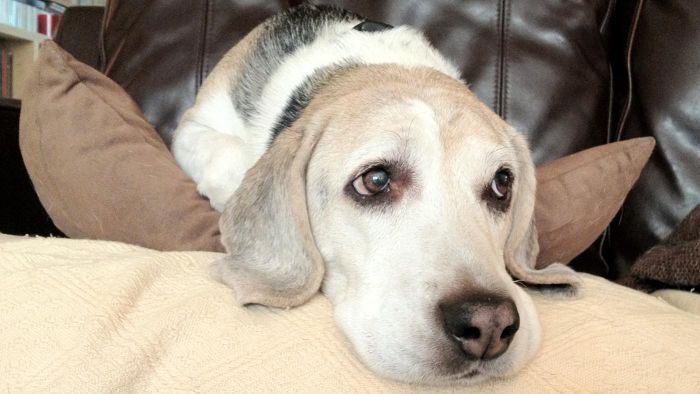 What Are Symptoms of Thyroid Problems in Dogs?