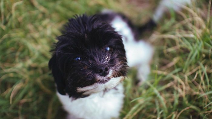What Are Teacup Dogs?