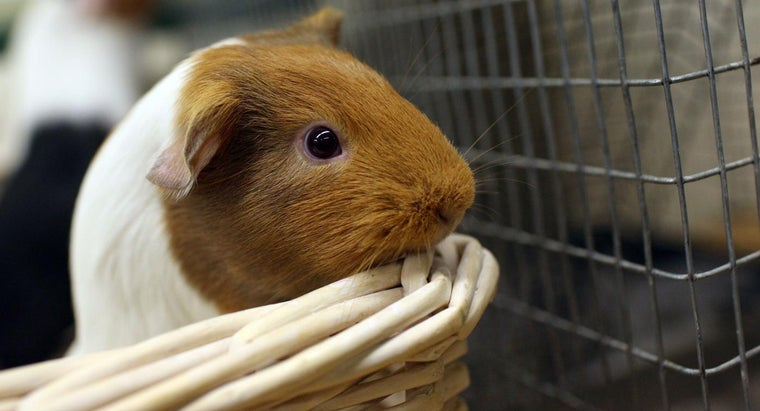 What Is the Annual Cost of Food for a Guinea Pig?
