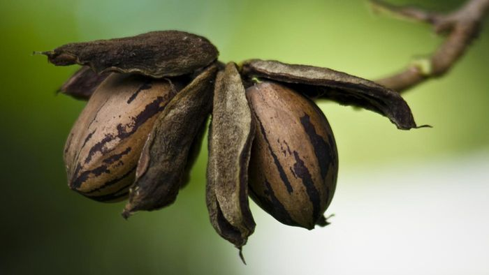 When Should You Pick Pecans?