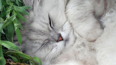 What Are the Symptoms of Feline Diabetes?