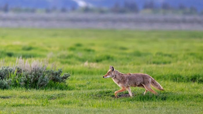 How Do You Distinguish Among the Varieties of Coyotes?