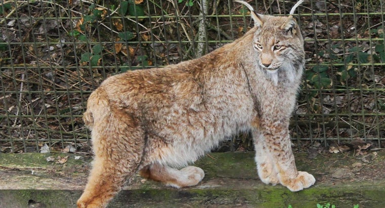 What Are Some Interesting Facts About Lynx?