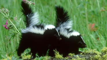 How Do You Remove Skunk Smell From a House?
