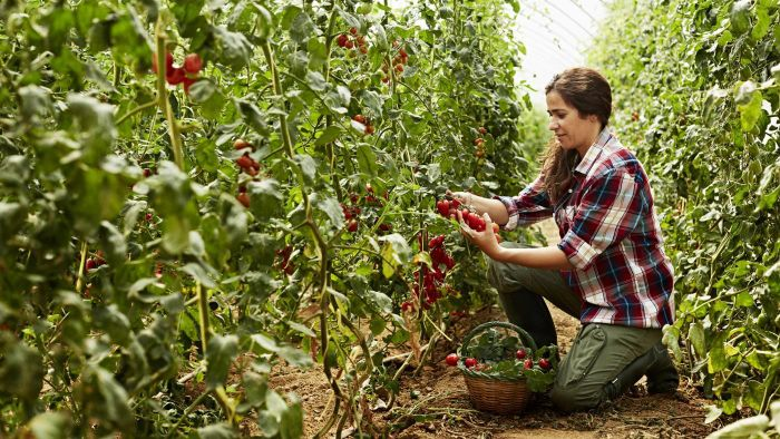 What are some good fertilizers for tomatoes?