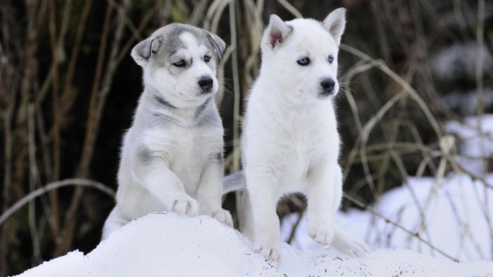 How Do You Adopt Husky Puppies for Free?