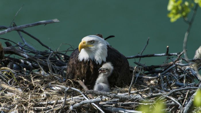 What Is Shown on the Alcoa Eagle Cam?