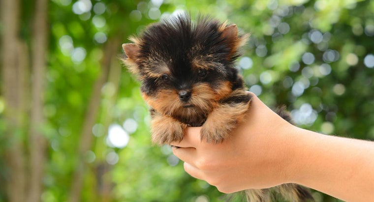 How Do You Find Teacup Yorkies for Sale?