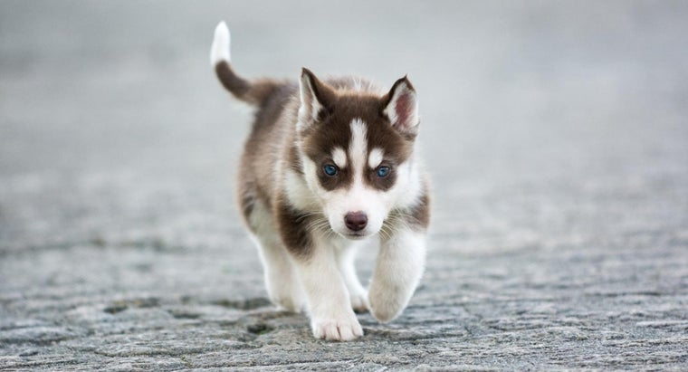 What Are Some Facts About Miniature Siberian Husky Puppies