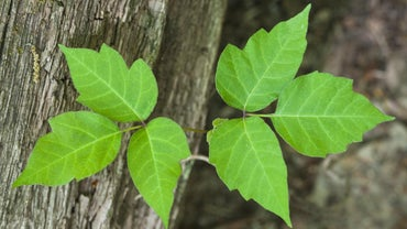 How Contagious Is a Poison Ivy Rash?