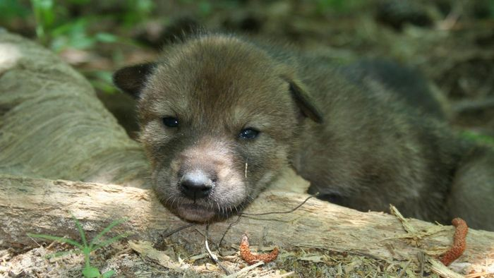 Do wolf puppies eat as much as dog puppies?