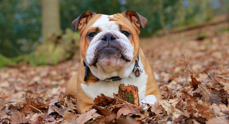 Are There Different Types of Bulldogs?