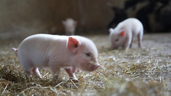 What Is a Teacup Pig?