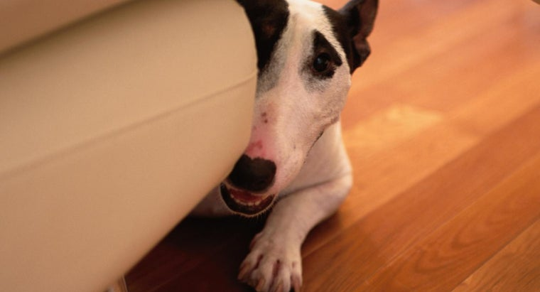 What Is the Size of a Bull Terrier Puppy?
